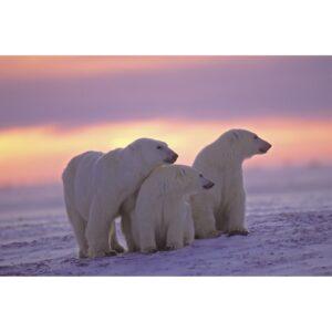 Foto op glas 'IJsberen'