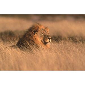 Foto op glas ' Leeuw '