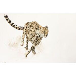 Vanessa Lomas schilderij 'Focused Cheeta'