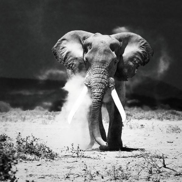 Foto op glas 'Desert Elephant'