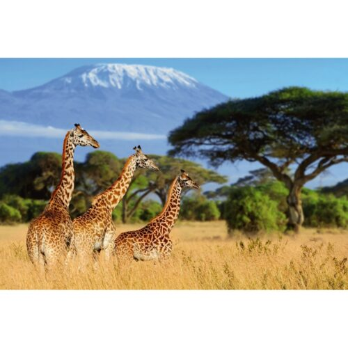 Foto op plexiglas 'Giraffes in the savannah'