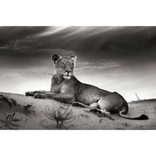 Foto op plexiglas 'Lioness'