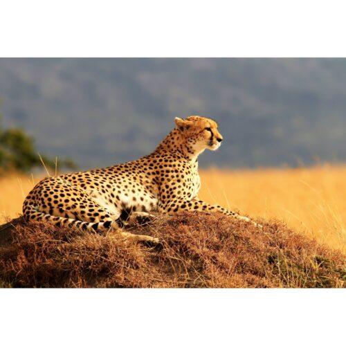 Foto op plexiglas 'Cheetah'