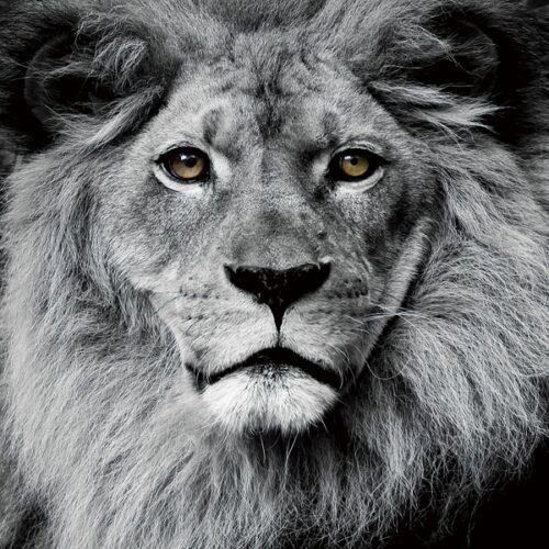 Foto op glas 'Lion Face'