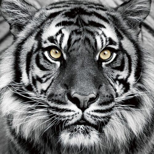 Foto op glas 'Tiger Face'