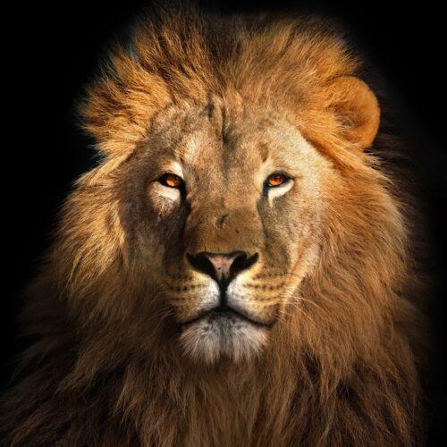 Foto op plexiglas 'Lion King'