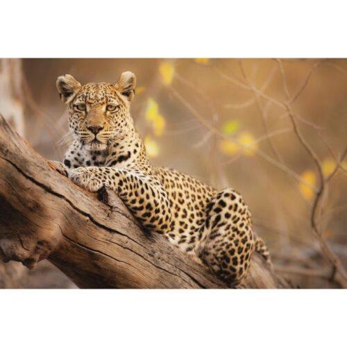 Foto op glas 'Luipaard op boom'